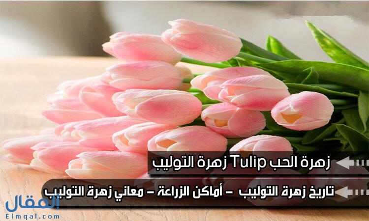 زهرة التوليب Tulip زهرة الحب