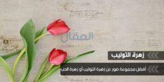 أجمل صور عن زهرة التوليب أو زهرة الحب Tulips HD Wallpapers