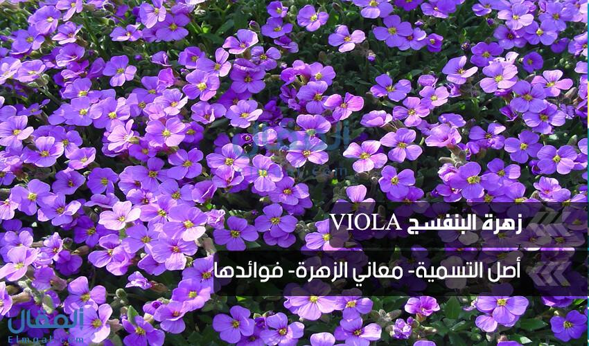 برغم حزنها تهديك أريجٌ يملئ قلبك بالحب.. زهرة البنفسج Viola