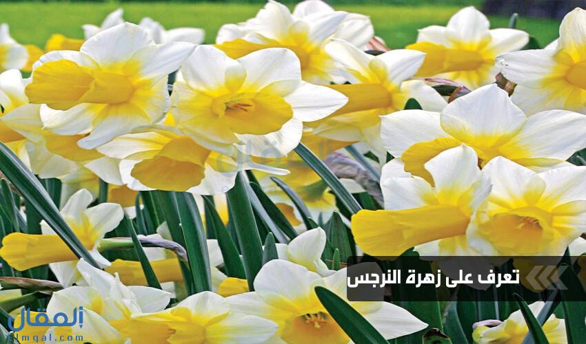 لنستقبل الربيع الدافئ ونودع ذكرياتنا مع زهرة الذكريات أو زهرة النرجس