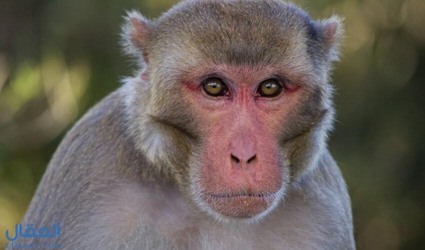 القرد في المنام وتفسير هذا الحلم كما ورد عن أكبر مفسري الأحلام ولكل الحالات