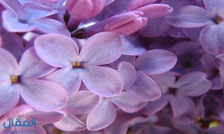 زهرة الليلك