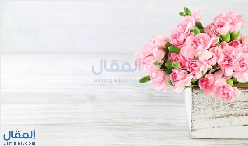 زهرة عطرها دواء للنفس والروح.. زهرة القرنفل Carnation