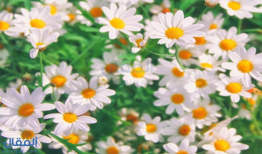 زهرة تمنحنا الحياة والسعادة وتتلألأ في عالم الحب… لنتعرف على زهرة البابونج