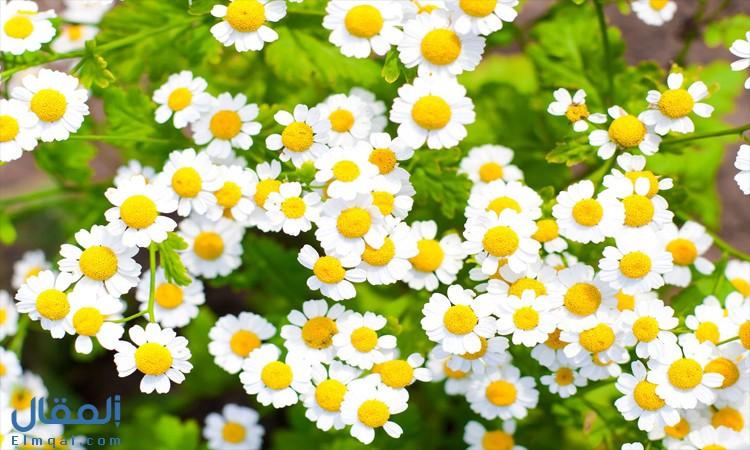 زهرة البابونج